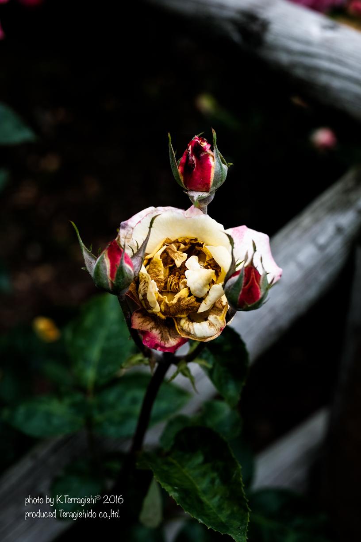 rose-63